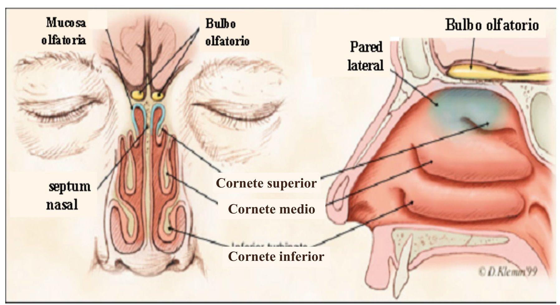 Alteraciones-olfato