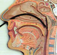 Endoscopia-nasal